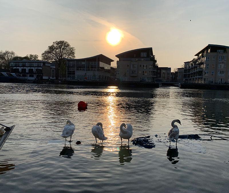 Kingston Swans